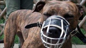 Muzzled pit bull terrier
