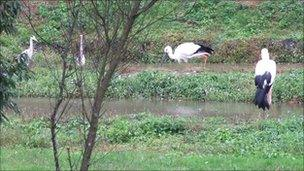 Storks at the visitor and breeding centre