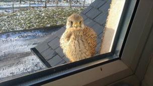 Bird of prey at window