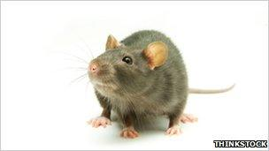 Stock image of a rat