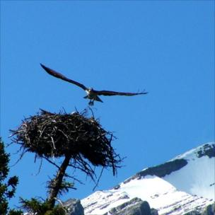 An osprey landing on its next.