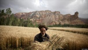 A farmer harvests wheat in central Afghan province Bamiyan.
