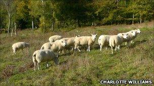 Sheep grazing at West Hanger