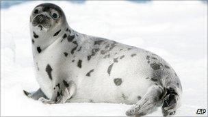 A seal laying in the Gulf of St Lawrence, Canada