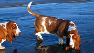 Basset hounds paddling in the sea