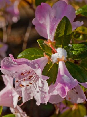 Snow melting off rhododendrons