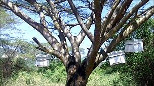 Beehives on a tree in Kajiado District