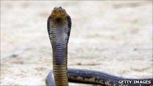 A file photo of an Egyptian cobra