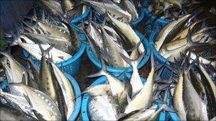 Catch of tuna