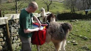 Loading eggs onto llama