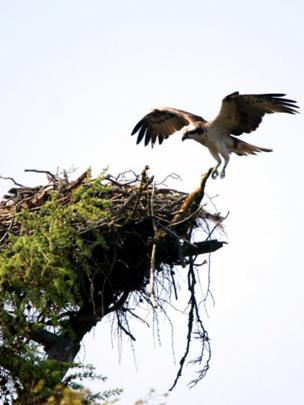 Osprey returning to its nest