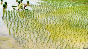 A farmer planting rice in Birbhum, 200kms north of Kolkata.