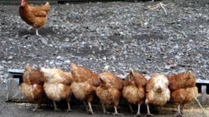 Hens eating feed
