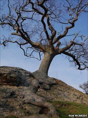 Dragon Oak, Montgomery