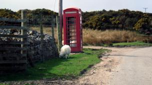 Sheep grazing by a telephone box