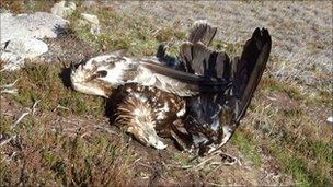 Dwad golden eagle on Skibo estate. Pic by RSPB