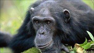 Chimpanzee (Arup Shah/Naturepl.com)