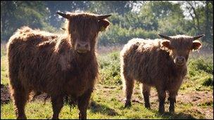 Highland cattle at Taverham Mill, photographer Simon Wrigglesworth