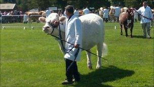 Cow at the 2011 Suffolk Show