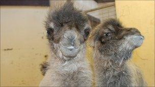 Bactrian camels (Picture courtesy Blackpool Zoo)