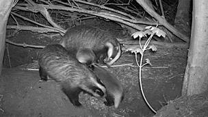 Badgers at night, Dr Andrew Markham