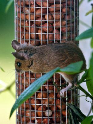 Field mouse on a bird feeder
