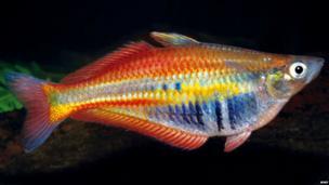 WWF: Rainbow fish