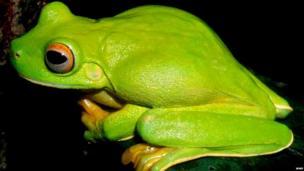 WWF: Frog (Litoria dux)