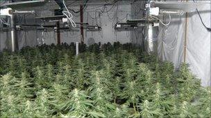 Cannabis factory in Halsall