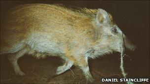 A wild boar in Forest of Dean caught on camera by Daniel Staincliffe