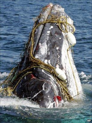 Humpback whale entangled in net