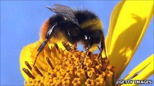 Bumble bee collecting nectar from flower