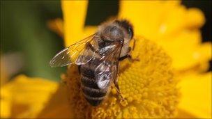A honey bee feeding on nectar from a flower