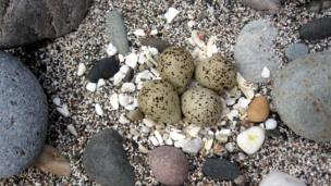 Oystercatcher's nest