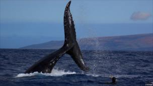 Tail of a humpback whale