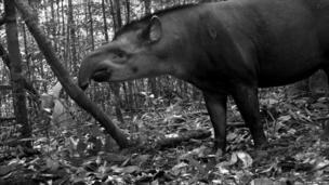 South American tapir (c) TEAM Network