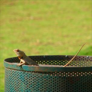 A chameleon foraging in a bin for food
