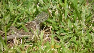 A lizard in the grass, Mombasa, Kenya