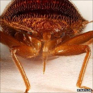 Bed bugs protect their sperm from bacteria - BBC News
