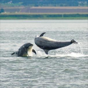 Dolphins playing at Chanonry Point, Fortrose, on the Black Isle.