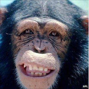 Smiling Chimp