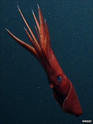 Octopoteuthis deletron (MBARI)