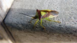 A hawthorn bug on a bench