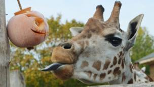 A giraffe and pumpkin