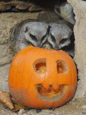 Meerkats with a pumpkin