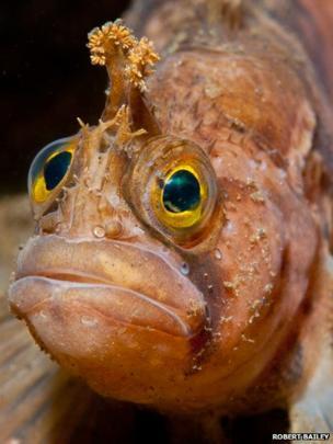 A yarrell's blenny fish