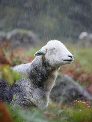 Sheep in rain