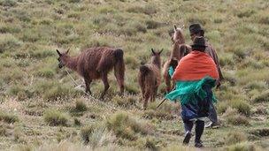 Herding grazing animals