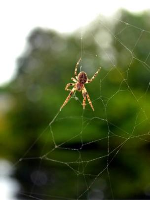 A spider making a web