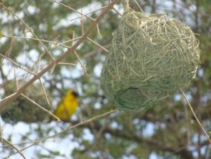 A weaver bird's nest